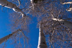 Aspen Stand by melly4260