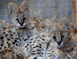 Serval Kittens by Natures-Paw-Prints