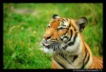 Tiger: Raspberry II by TVD-Photography
