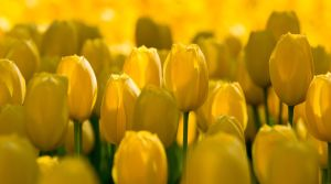 Yellow Tulips by greenjinjo