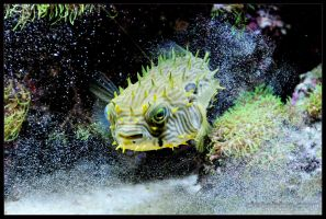 puffer02 by delobbo