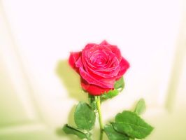 Mother's day rose....again.... by Pidon-animal