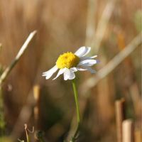 Flower in the Hay. by xsanah