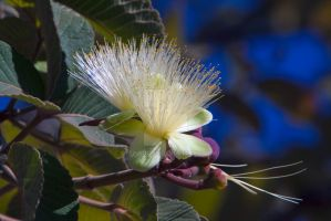 Flower on a Pequi Tree by EyeInFocus