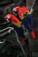 Scarlet Macaws by to-the-brink