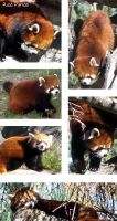 Red Panda at the Zoo by Hanasu