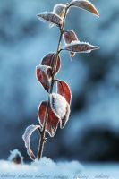 Frozen leaves by kihi1114