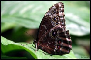 Common Blue Morpho Underside by shutterbugmom