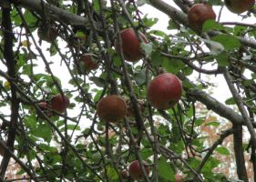 Avalons Apples by seaglasshunter