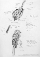 Field Sparrow Studies by LeccathuFurvicael