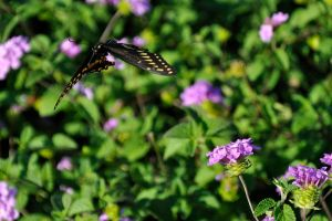 Palamedes Swallowtail -flight- by BHLphotography