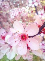 cherry blossoms by Sommore