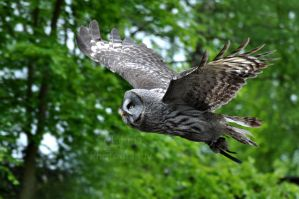 Great Grey Flight by Tienna