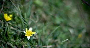 Yellow and white flower by oEmmanuele