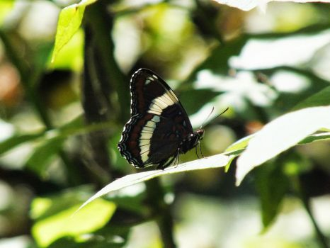 Banded Butterfly by michineko