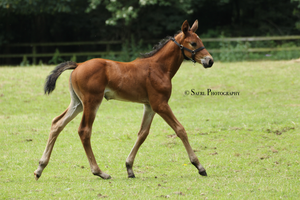 Clarissimas Foal Stock 1 by Saerl