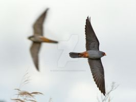 Woosh - Red-footed Falcon by Jamie-MacArthur