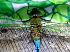 Wings of a Dragonfly by Sashelas