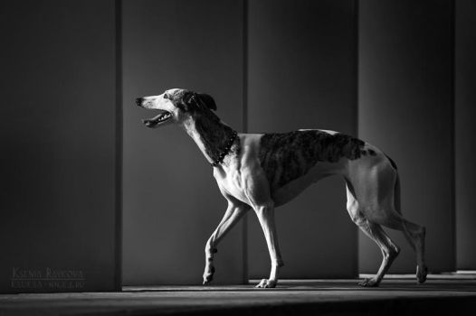 The whippet by Ksuksa-Raykova