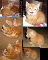 Kitten Stock Collage V by Melyssah6-Stock