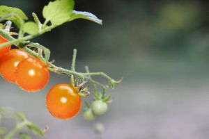 First Tomatoes by Caloxort