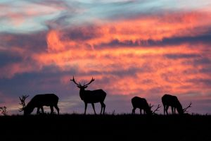 Elk Sunset by StevenDavisPhoto