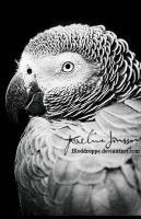 _African grey parrot. by Bloddroppe-nature