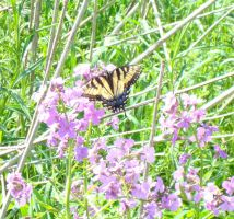 tiger swallowtail butterfly by negativeffect