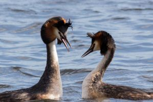 Dancing Great Crested Grebes by WojciechGrzyb
