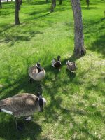 Spring geese by CourtesyOfHerDreams