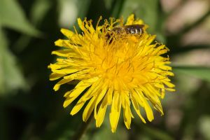 Hot bee on flower action! by captpackrat