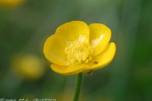 Buttercup by M-L-Griffith
