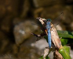 Blue Dasher Dragon by NTGreen