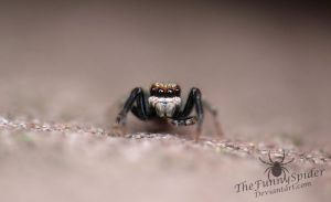 Unknown Jumping Spider by TheFunnySpider
