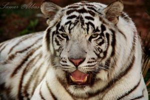 White Tiger by photographersamer