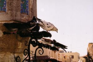 Pigeons in Rhodes by ashkey