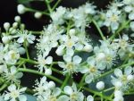 White Blossoms by Love-Art-Type