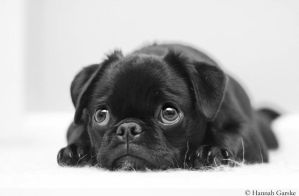 pug II by lovable-moments
