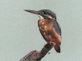 Common Kingfisher in pastel by SteveHargreaves