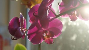 Pink Orchid by Michelle-xD