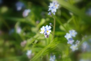 Forget-Me-Not by FantasyWordful