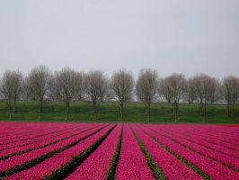 red tulip field by schaduwvacht