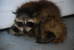Wet Baby Racoons by FallingClockwise