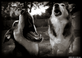 Singing Dogs by WinonaPhotographie