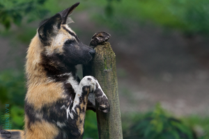 African wild dog. by Ravenith