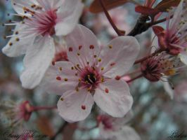 Cherry Blossom by Lisher