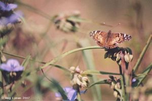Painted Lady by MegLyman