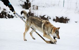 Wolfdog Hockey by Czertice