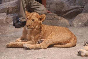 baby lion by oxygun