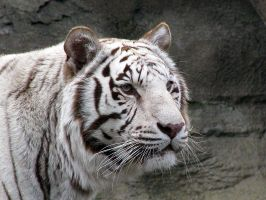 White Bengal Tiger by Tailfeathrz